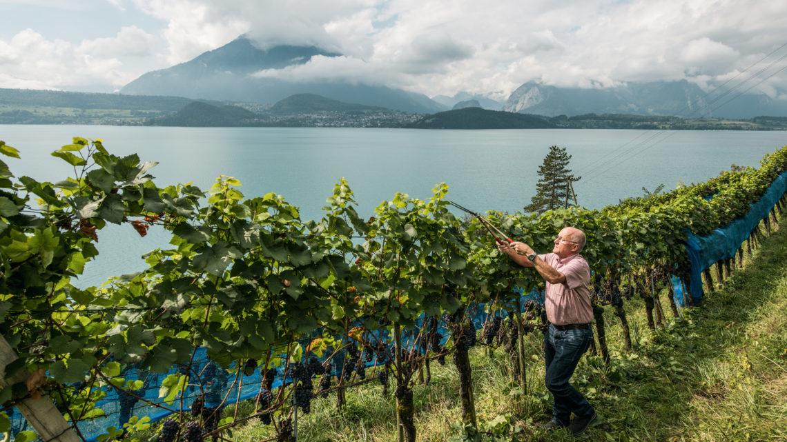 Weintourismus Schweiz Rebberg Switzerland Tourism - By-Line: swiss-image.ch/Markus Buehler worldofwellness